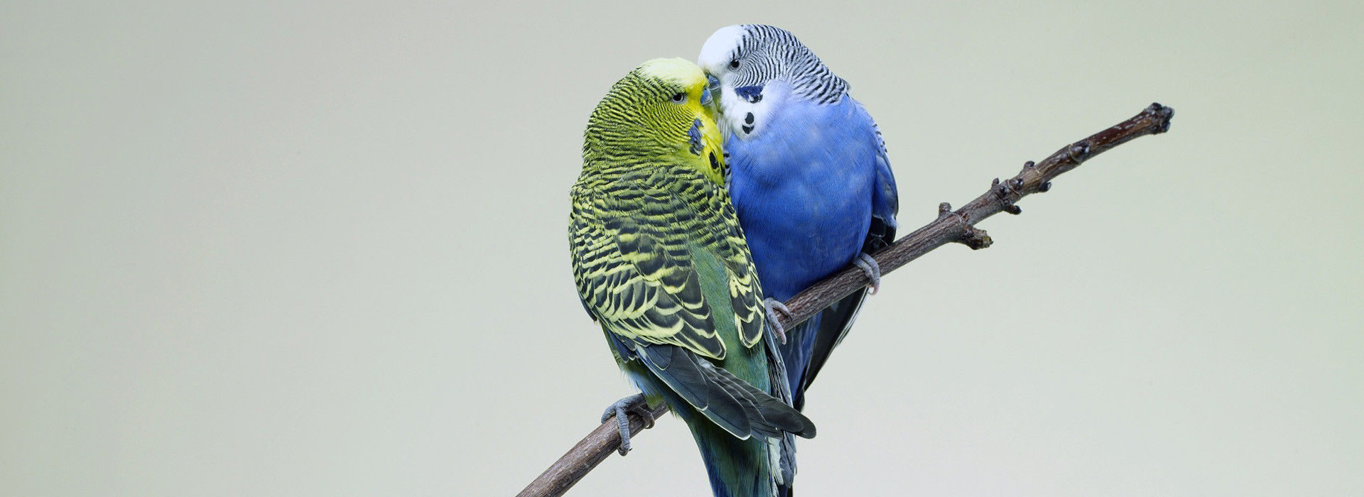 budgie-parrots-kissing-budgies-bird-branch
